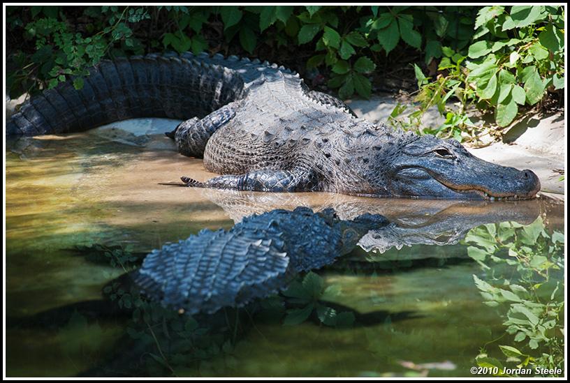 IMAGE: http://www.jordansteele.com/forumlinks/alligators.jpg