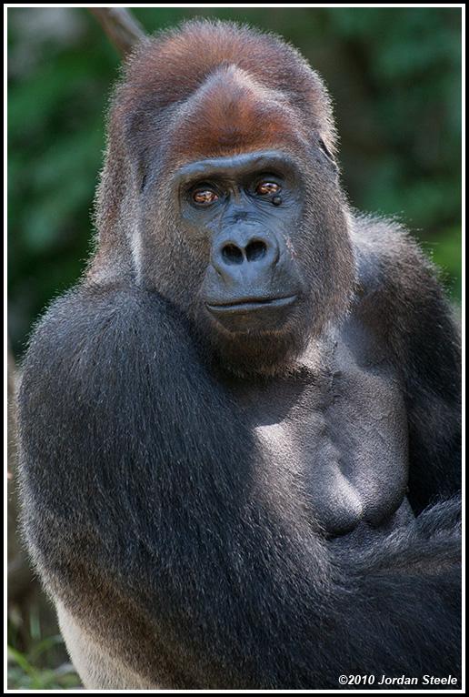 IMAGE: http://www.jordansteele.com/forumlinks/gorilla_portrait.jpg