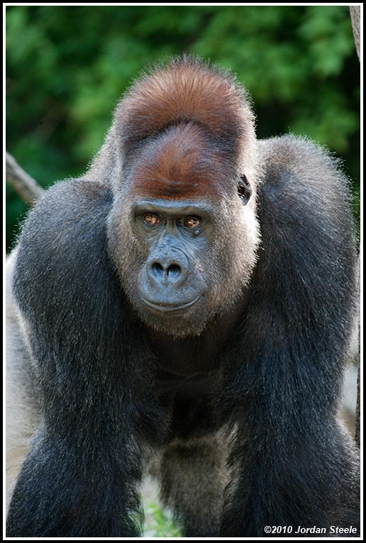 IMAGE: http://www.jordansteele.com/forumlinks/gorilla_stand.jpg
