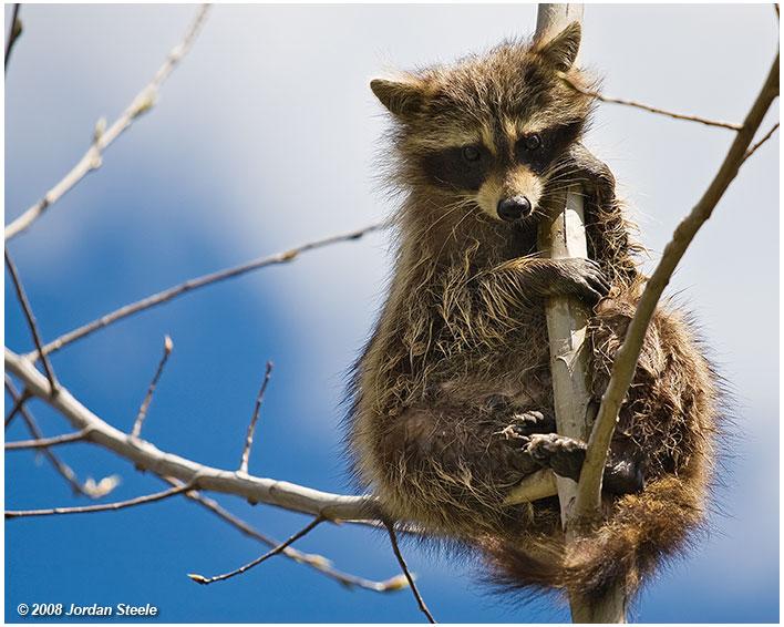 IMAGE: http://www.jordansteele.com/images/recent/raccoon1.jpg